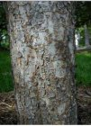 Chinece Elm bark.jpg