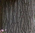Siberian Elm bark. jpg.jpg